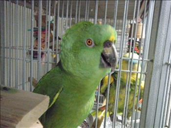 Aileron - Yellow Naped Amazon