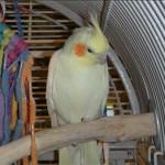 Birdie - Lutino Cockatiel