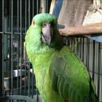 Boy Boy aka Bernardo - Yellow Naped Amazon