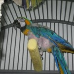 Chipper - Blue and Gold Macaw