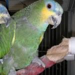 Dos Patas - Orange Wing Amazon