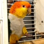Joe - White Bellied Caique