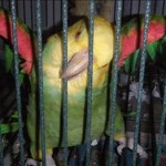 Juanita - Double Yellow Headed Amazon