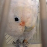 Phalen, Goffin's Cockatoo