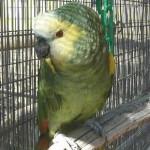 Wilbur - Blue Fronted Amazon