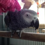 Woody aka Willa - Congo African Grey