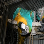 Echo - Blue and Gold Macaw