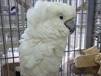 Dozer - Umbrella Cockatoo