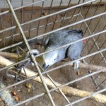 Corky, rescued Congo African Grey