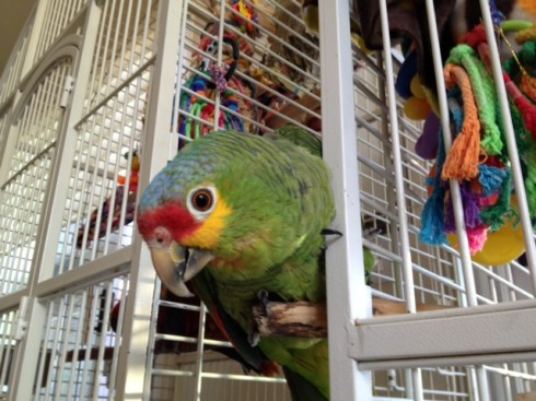 Polo, Red-lored amazon