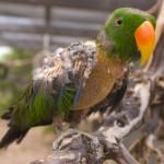Paulie, an Eclectus parrot