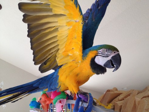 Blue and Gold macaw Rio