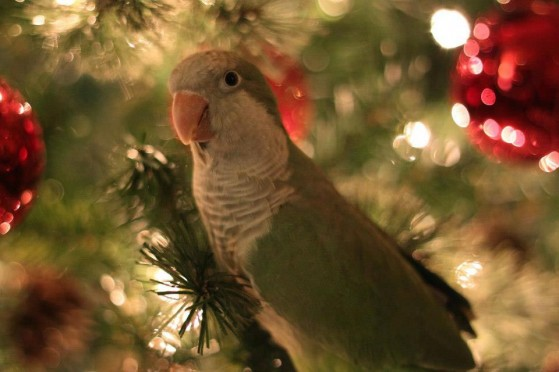 Binky_the_baby_Quaker_parrot_ready_for_the_holidays