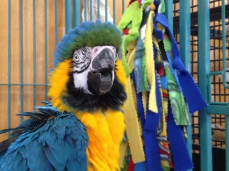 Sassy the Blue & Gold Macaw