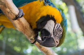 KC the Blue & Gold Macaw